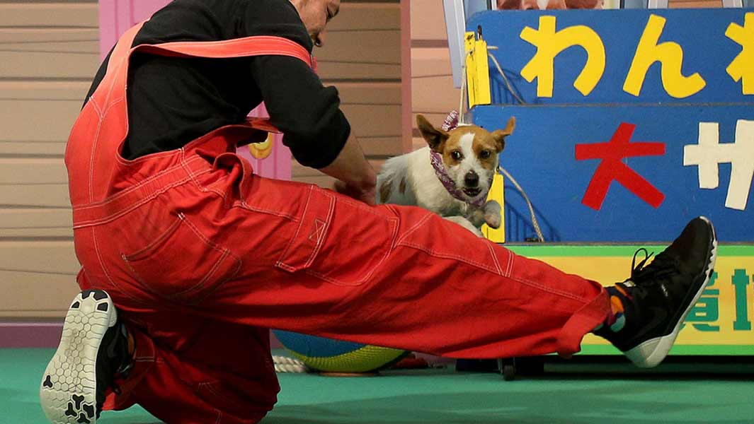 Jumping Jack Russell receives a Guinness World Records title!