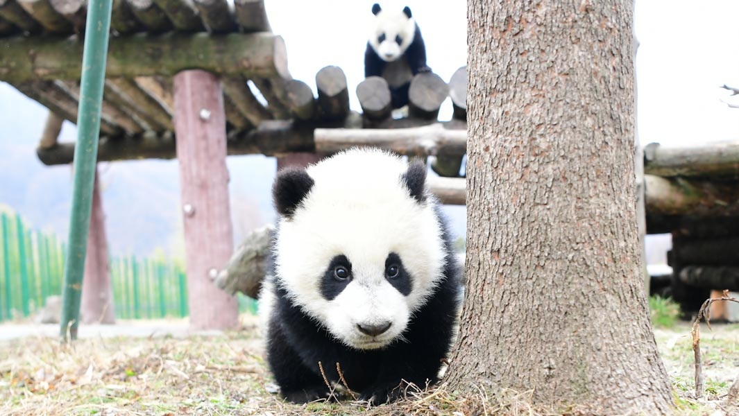 Record-breaking panda twins turn one year old!