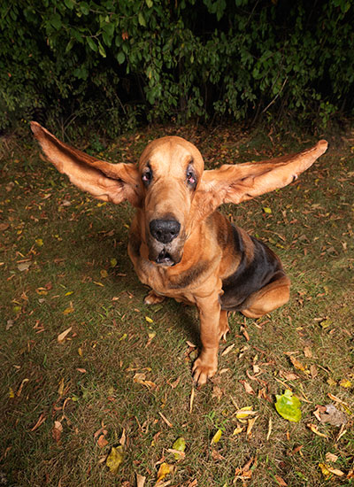 Longest ears on a dog ever Tigger portrait
