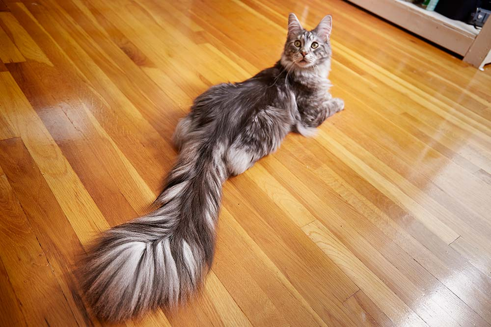 Longest tail on a cat