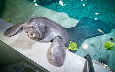 Oldest manatee