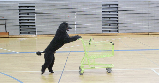 Sailor the dog pushing shopping cart