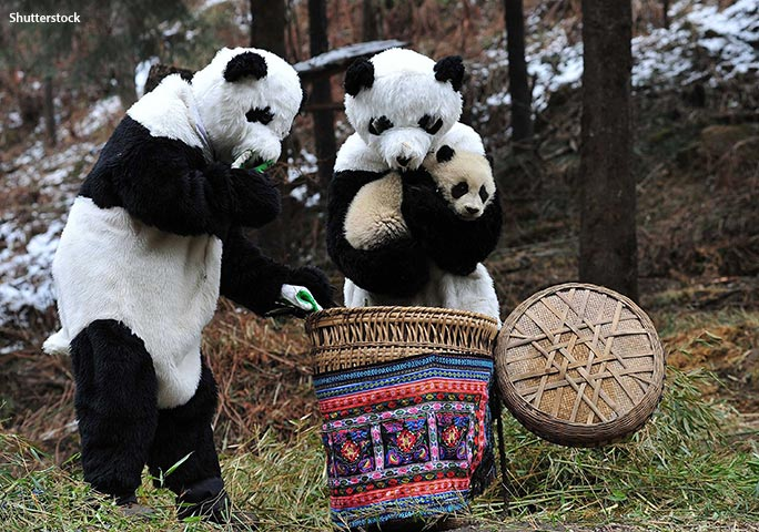 At Hetaoping panda base, the keepers wear bear suits that have been soaked in panda pee!