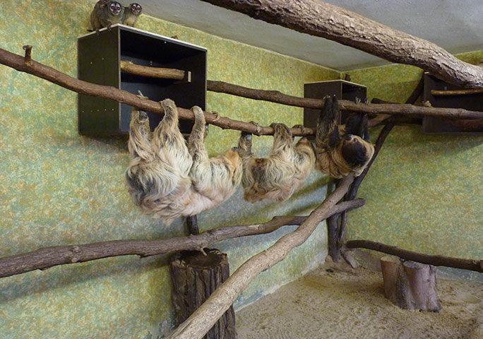 Paula hanging out with her room-mates, two fellow sloths and a pair of night monkeys