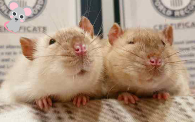 rats looking happy