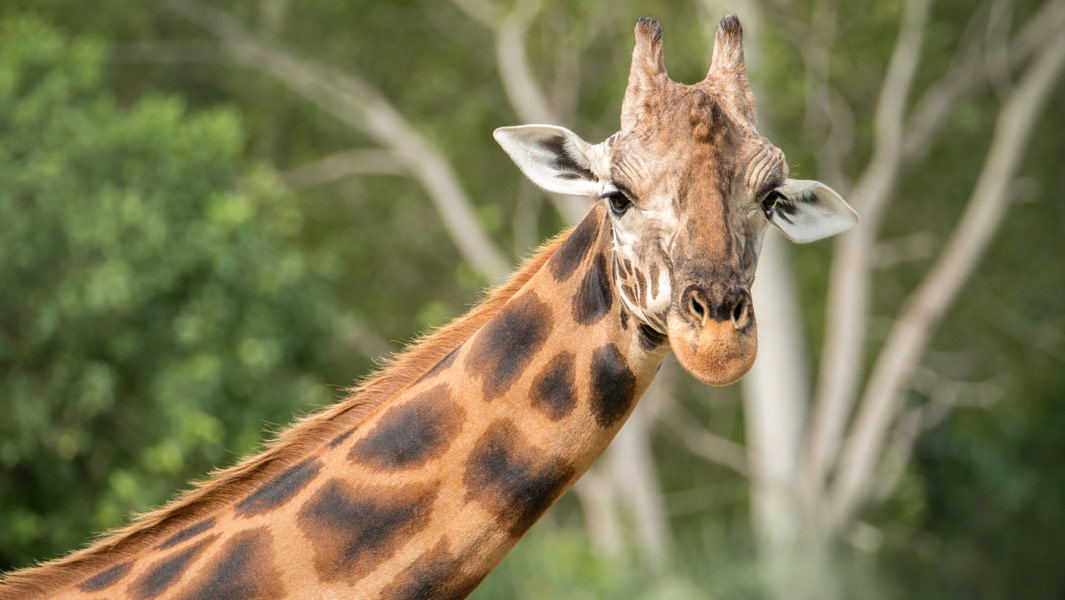 Say HIGH to Forest - the world's tallest giraffe
