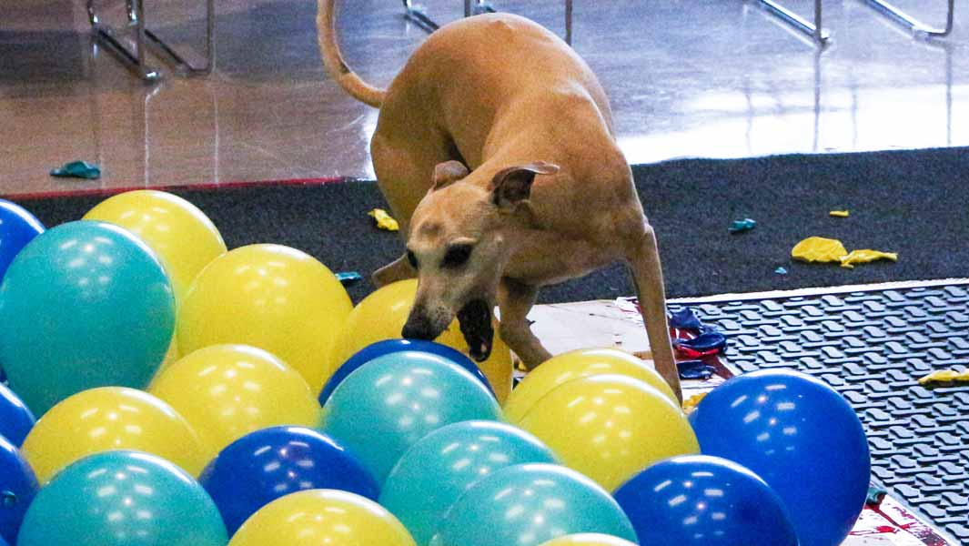 Watch Toby the dog pop 100 balloons!