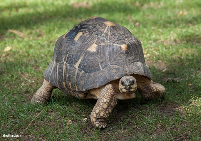 This is a radiated tortoise, the same type as Tu'i Malila